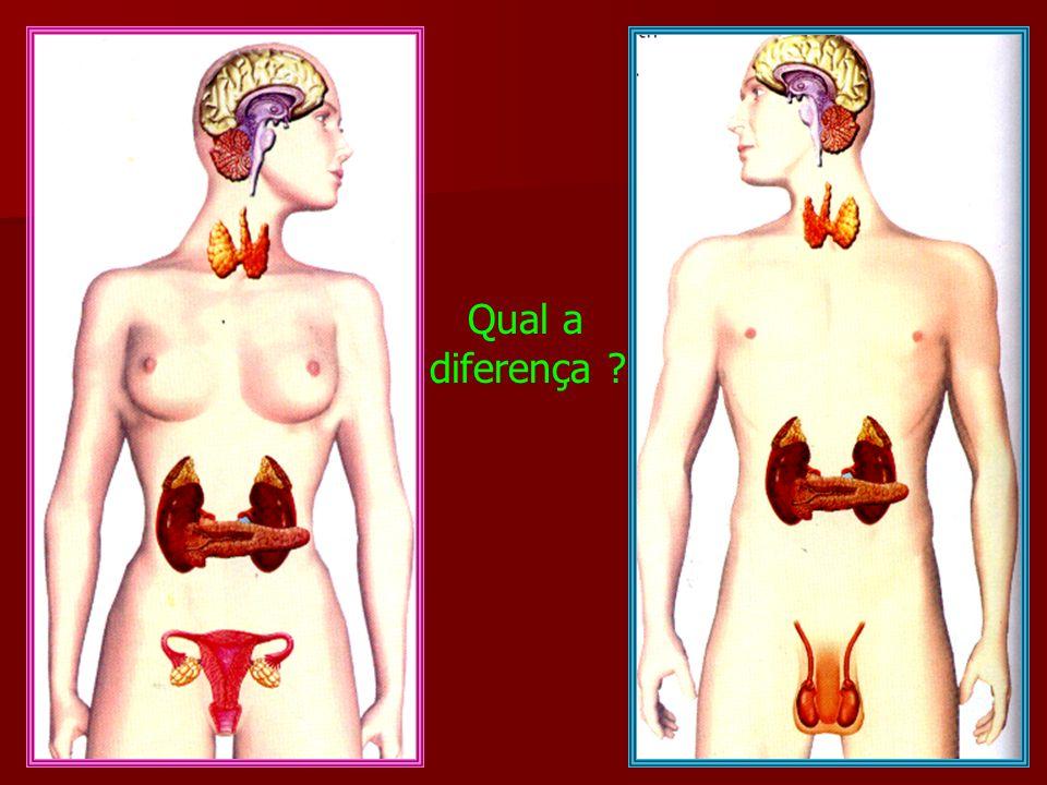 As glândulas mamárias