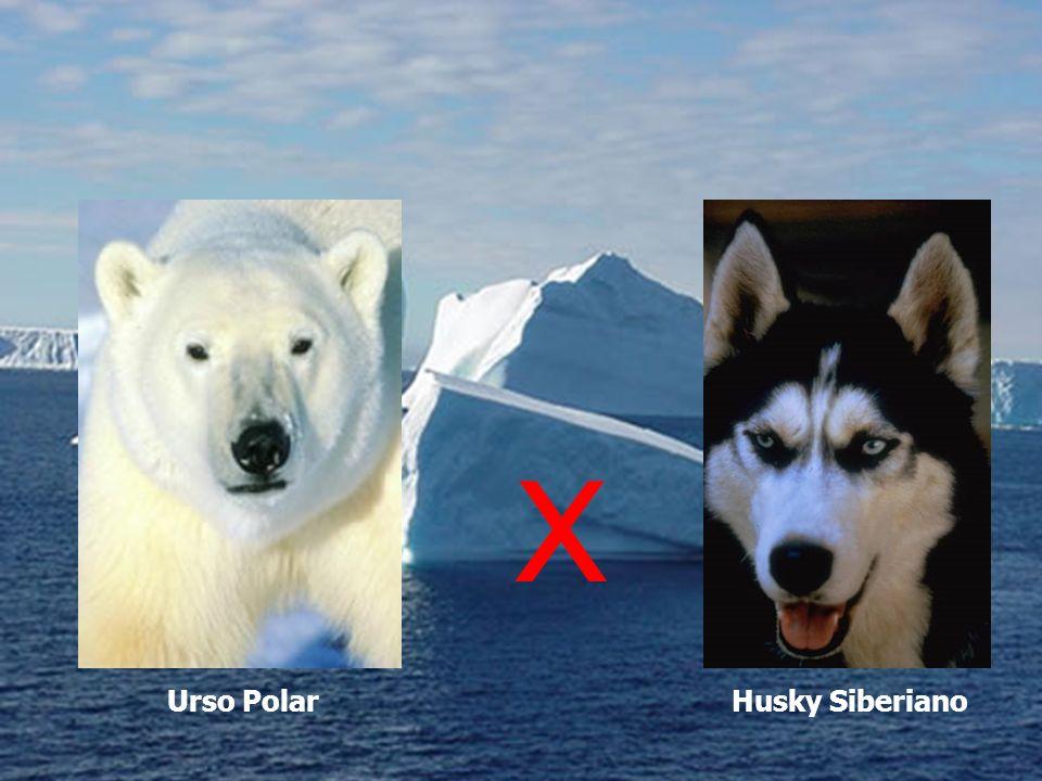 Urso PolarHusky Siberiano X
