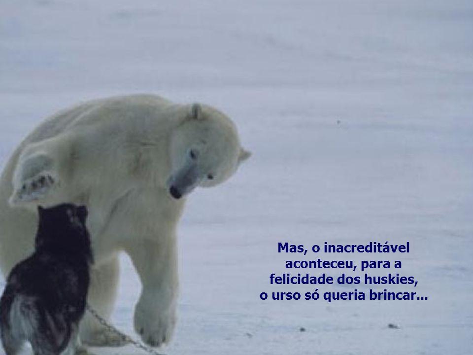 Os huskies siberianos estavam indefesos, presos na coleira quando de repente lhes surge um imenso urso polar...