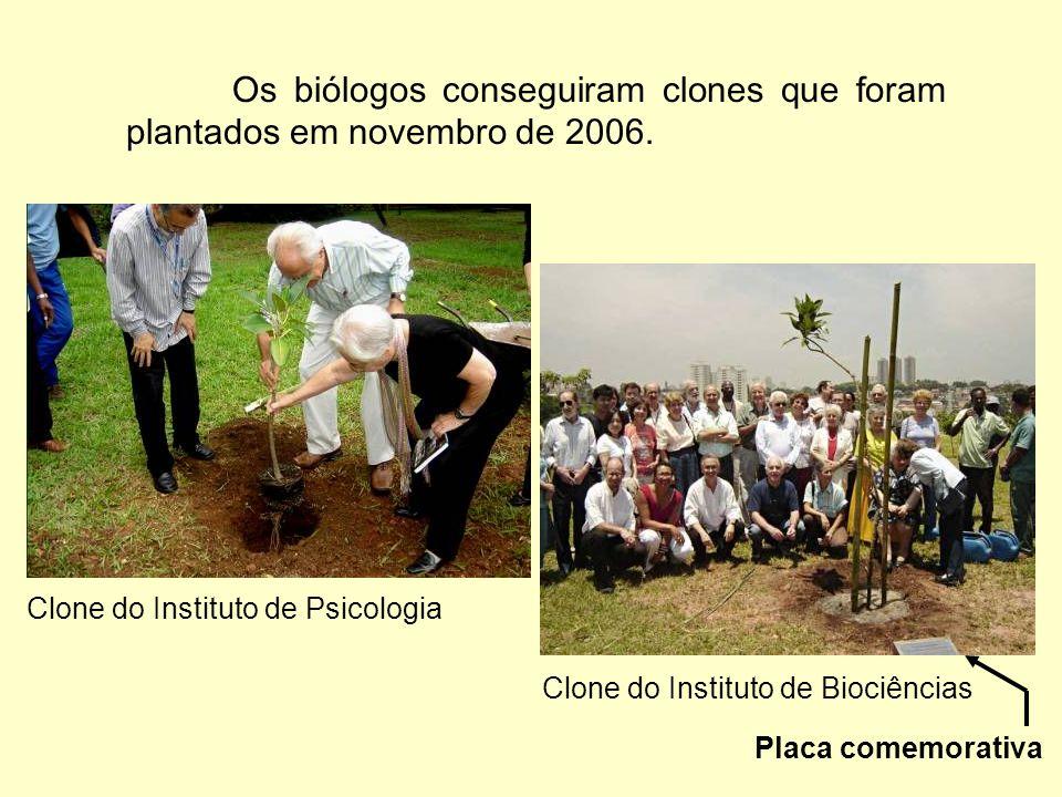 A figueira e seus clones Os geólogos foram os primeiros a obter um clone, plantado no Instituto de Geociências na Cidade Universitária em 30/05/2003 (