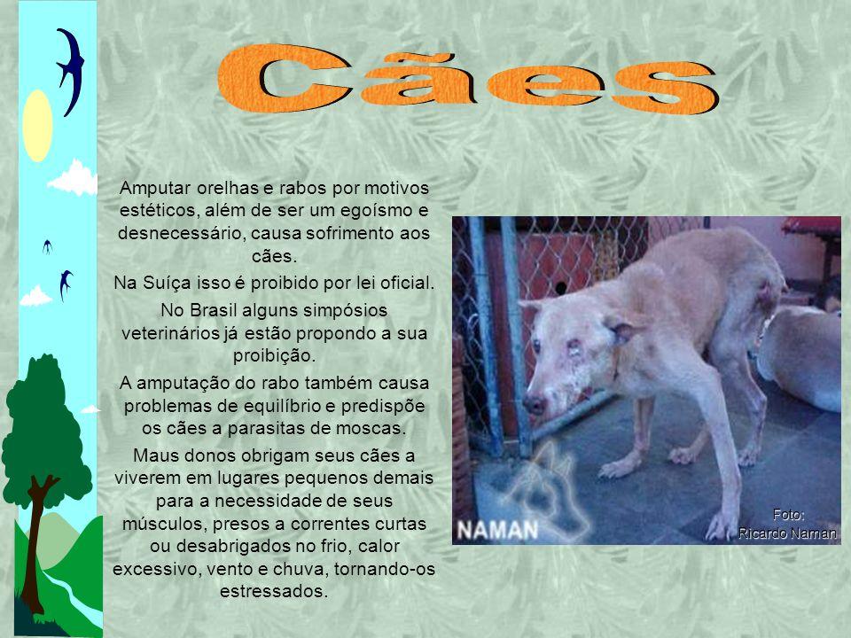 Amputar orelhas e rabos por motivos estéticos, além de ser um egoísmo e desnecessário, causa sofrimento aos cães.
