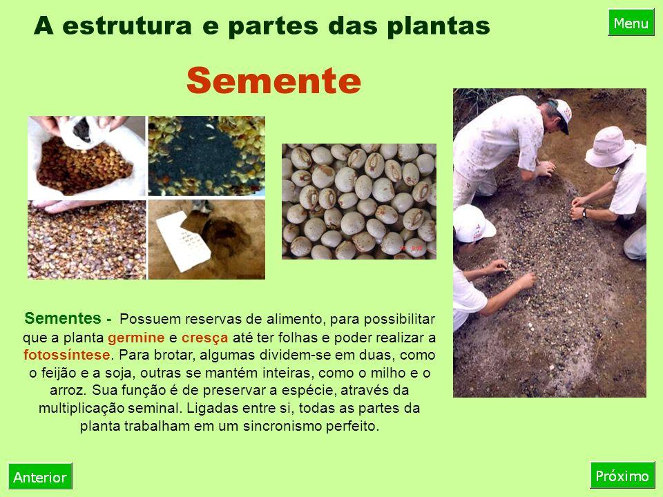 A estrutura e partes das plantas Sementes - Possuem reservas de alimento, para possibilitar que a planta germine e cresça até ter folhas e poder realizar a fotossíntese.