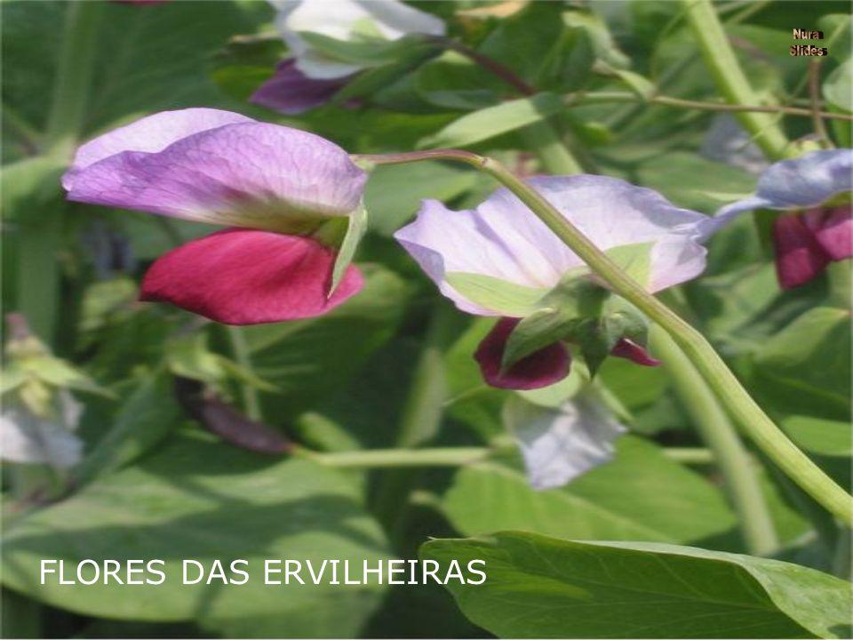 FLORES DAS ERVILHEIRAS