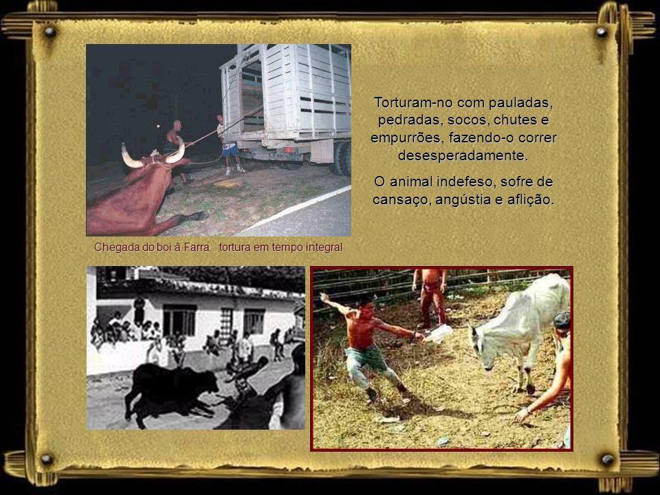 A Farra do Boi é promovida pela comunidade de descendentes açorianos de Santa Catarina, BR. Durante a Farra, um boi é solto em local cercado ou aberto