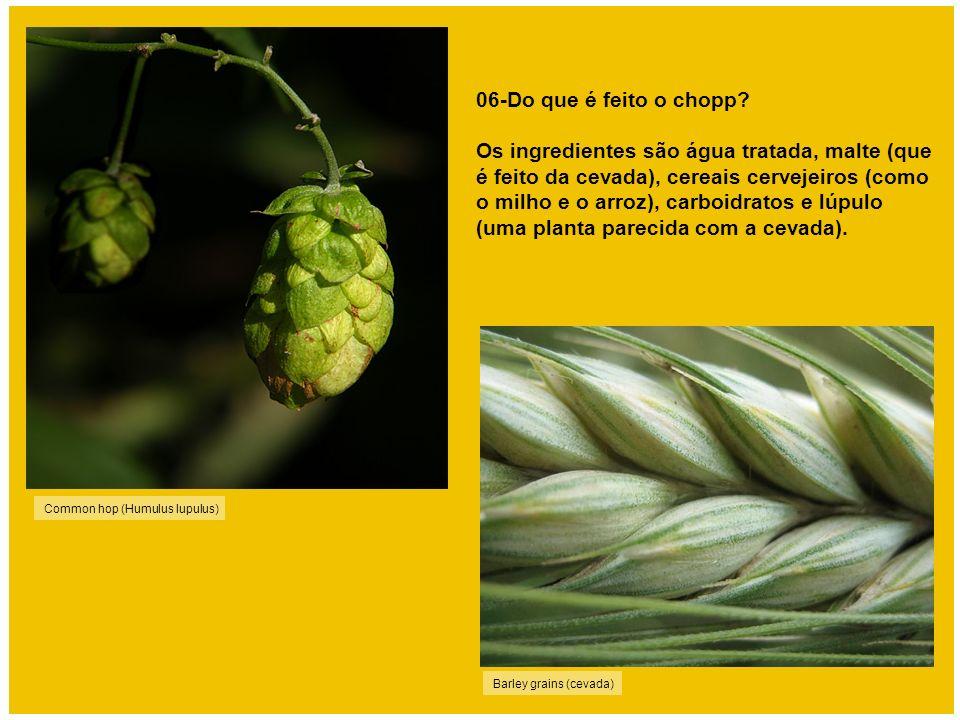 Common hop (Humulus lupulus) 06-Do que é feito o chopp? Os ingredientes são água tratada, malte (que é feito da cevada), cereais cervejeiros (como o m