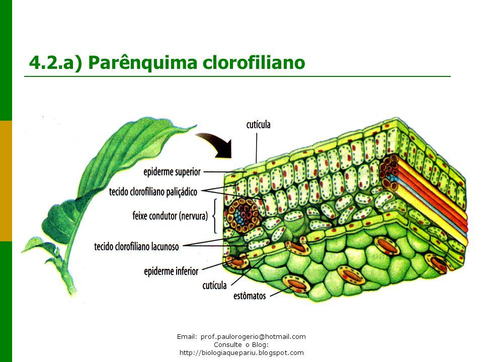 Email: prof.paulorogerio@hotmail.com Consulte o Blog: http://biologiaquepariu.blogspot.com 4.2.a) Parênquima clorofiliano