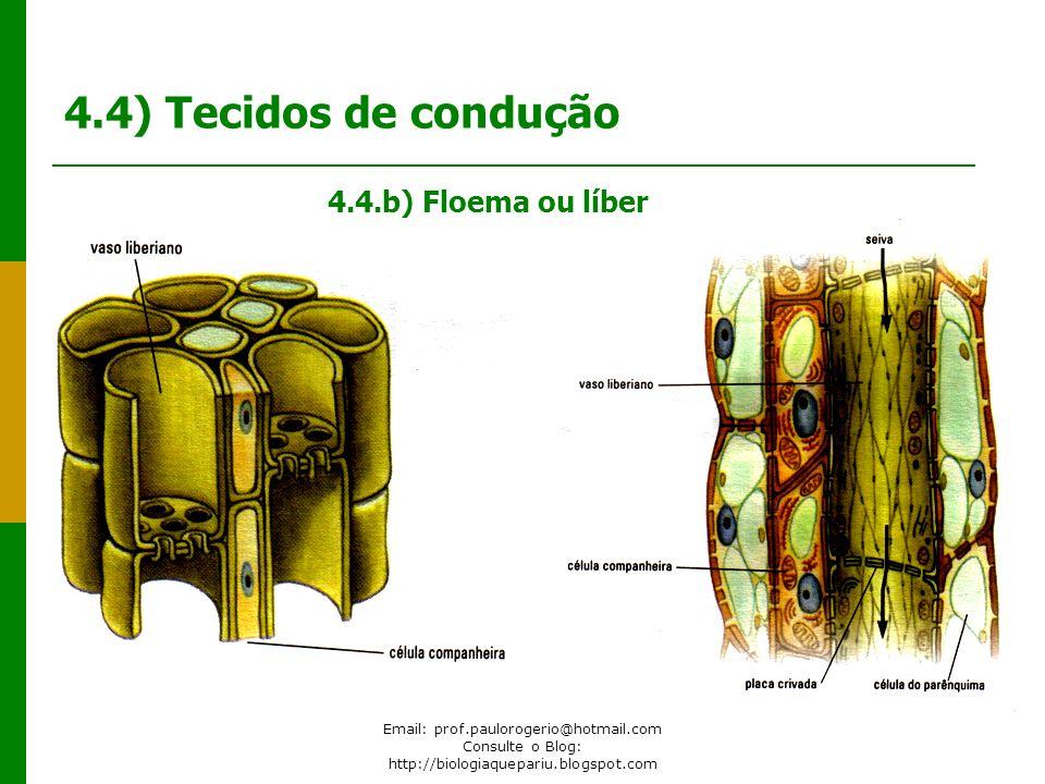 Email: prof.paulorogerio@hotmail.com Consulte o Blog: http://biologiaquepariu.blogspot.com 4.4) Tecidos de condução 4.4.b) Floema ou líber
