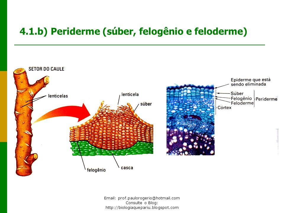 Email: prof.paulorogerio@hotmail.com Consulte o Blog: http://biologiaquepariu.blogspot.com 4.1.b) Periderme (súber, felogênio e feloderme)