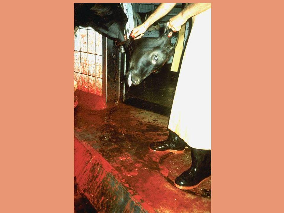 Durante cerca de 40 segundos a um minuto que cada animal fica esperando na área de matança antes de perder a consciência, o terror se torna visivelmen