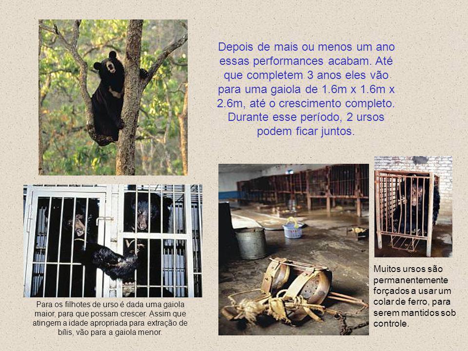 Filhotes de urso que nascem nas fazendas são retirados de suas mães aos 3 meses de idade são colocados de imediato para treinamento de performances em