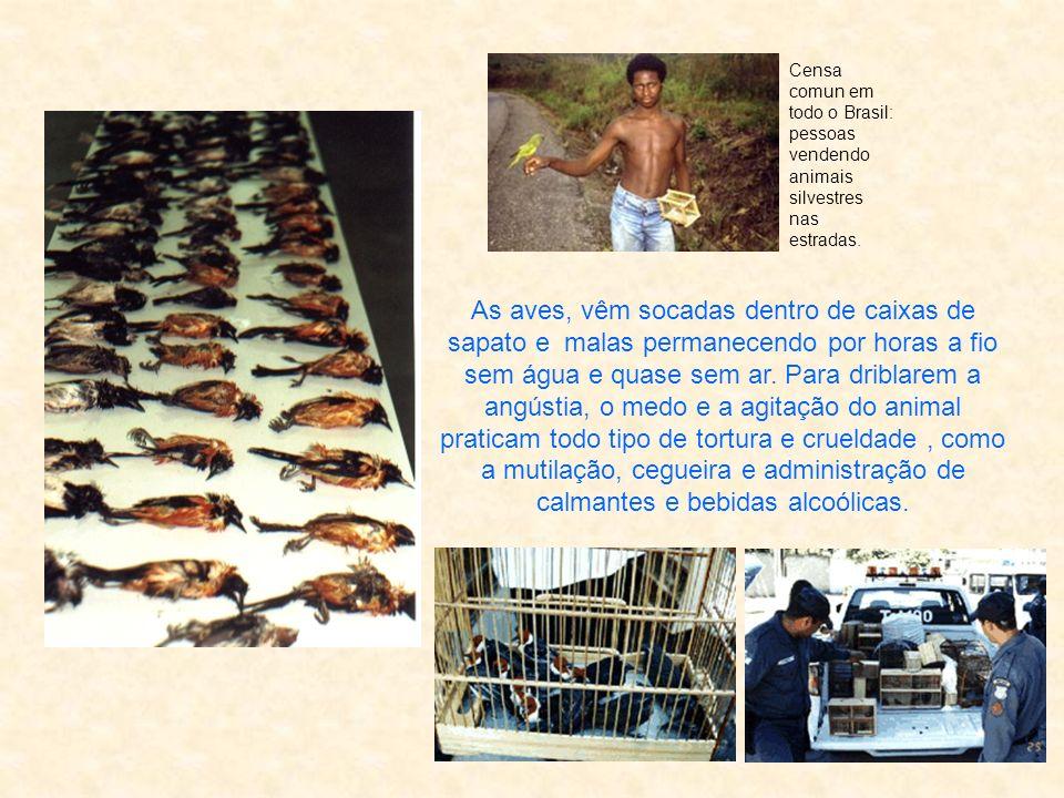 Para cada animal que chega a ser vendido nas feiras, dezenas de outros morrem por estresse e maus tratos. Pássaros são espremidos em gaiolas pequenina