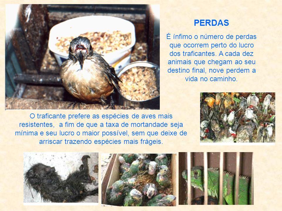 As aves, vêm socadas dentro de caixas de sapato e malas permanecendo por horas a fio sem água e quase sem ar. Para driblarem a angústia, o medo e a ag