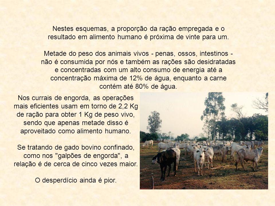 Na criação intensiva de animais para carne, leite e ovos, muito mais alimento para humanos é destruído do que produzido.