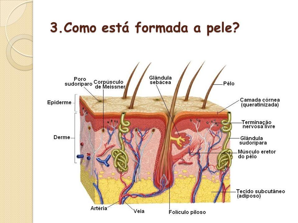 3.Como está formada a pele?