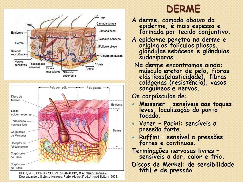 DERME DERME A derme, camada abaixo da epiderme, é mais espessa e formada por tecido conjuntivo. A epiderme penetra na derme e origina os folículos pil