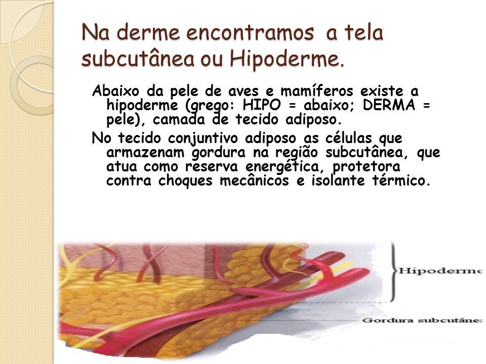 Na derme encontramos a tela subcutânea ou Hipoderme. Abaixo da pele de aves e mamíferos existe a hipoderme (grego: HIPO = abaixo; DERMA = pele), camad