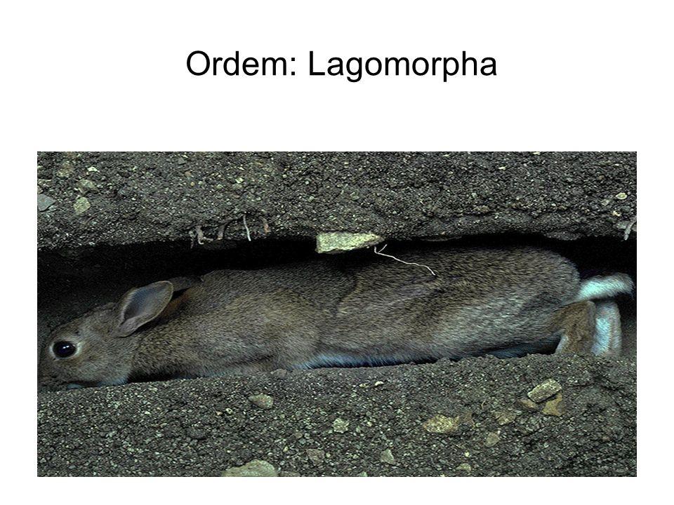 Ordem: Lagomorpha