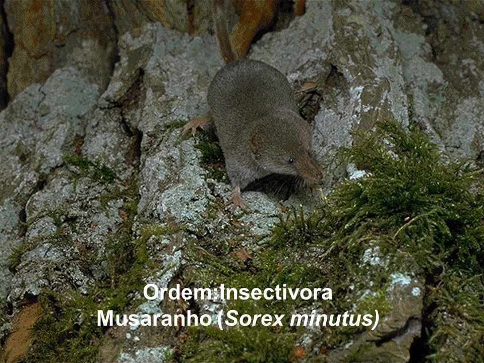 Ordem:Insectivora Musaranho (Sorex minutus)