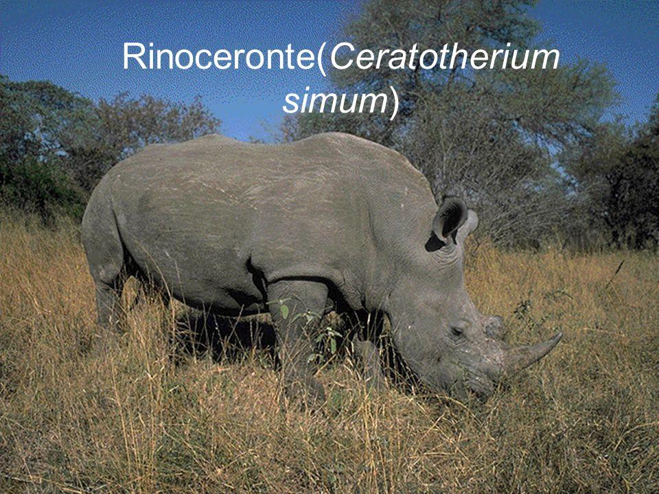 Rinoceronte(Ceratotherium simum)