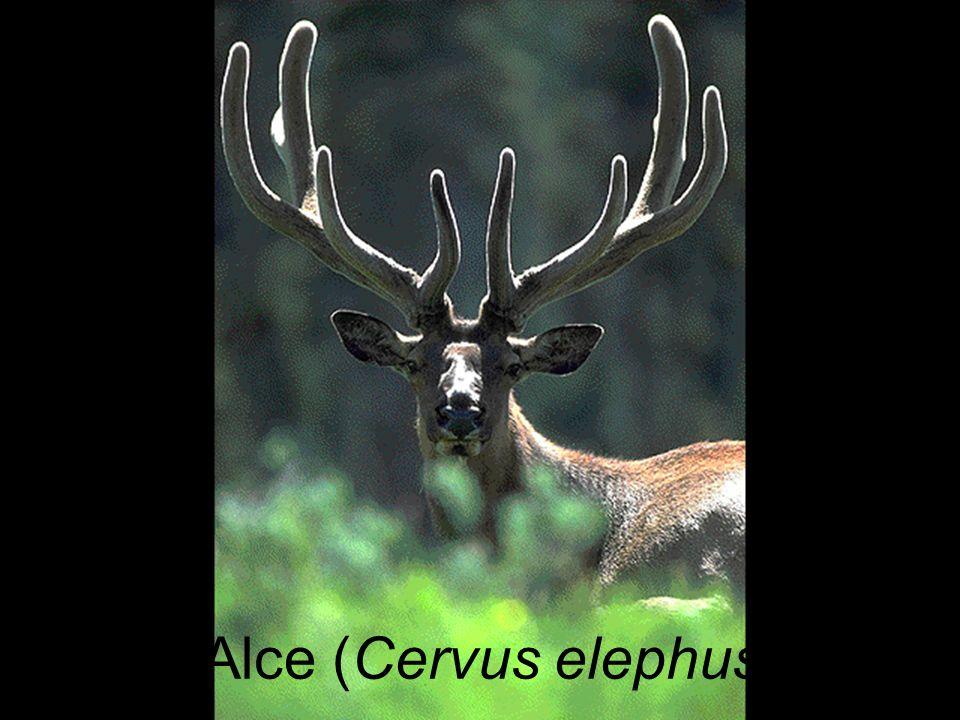Alce (Cervus elephus)