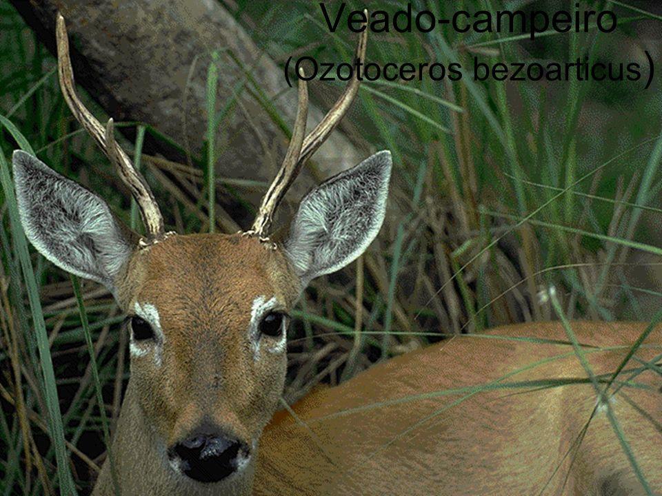 Veado-campeiro (Ozotoceros bezoarticus )