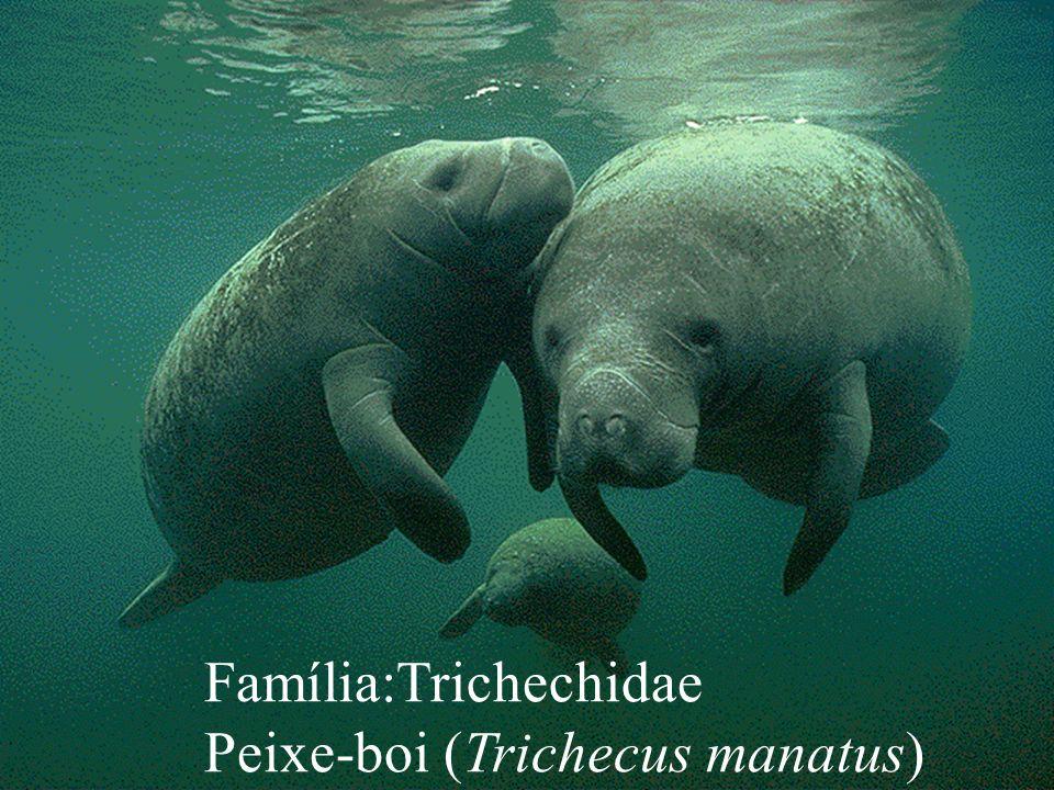 Família:Trichechidae Peixe-boi (Trichecus manatus)