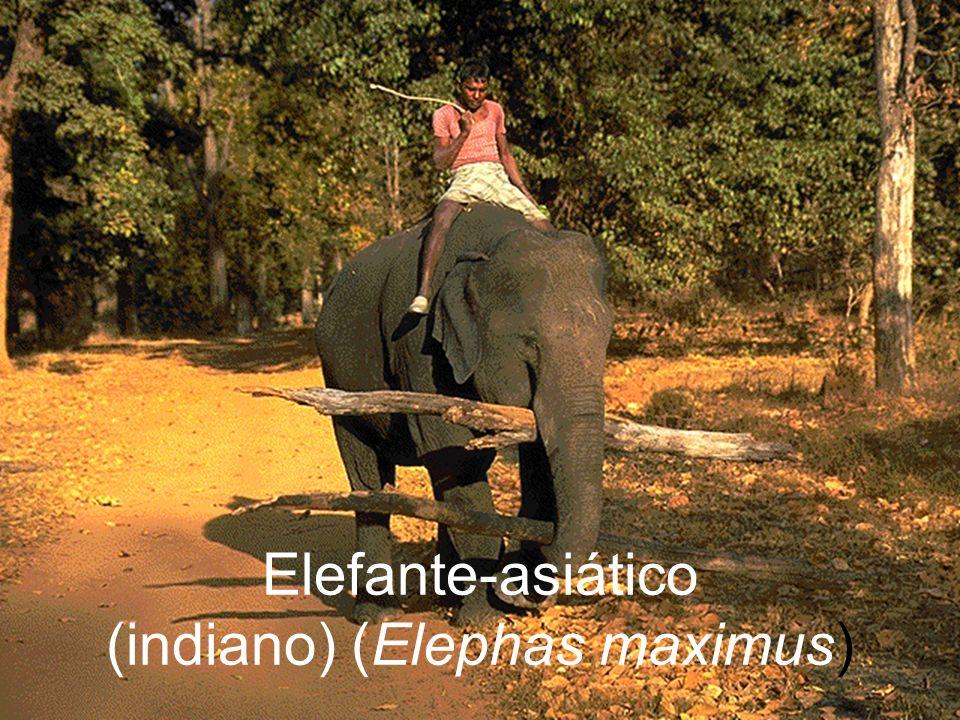 Elefante-asiático (indiano) (Elephas maximus)