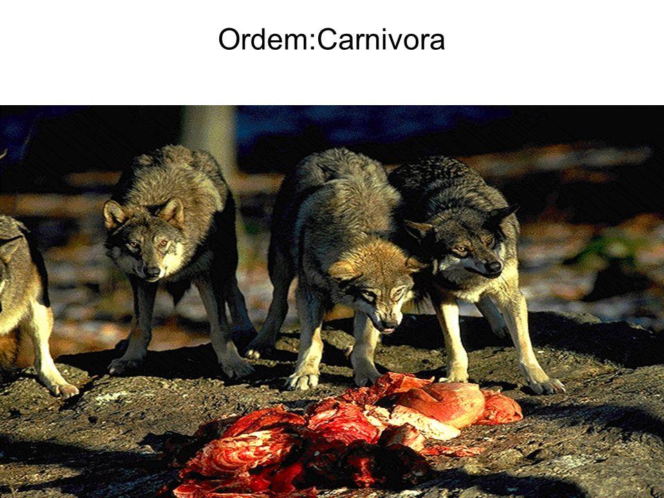 Ordem:Carnivora