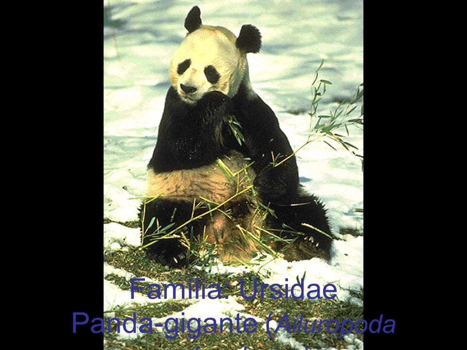 Família: Ursidae Panda-gigante ( Ailuropoda melanoleuca)