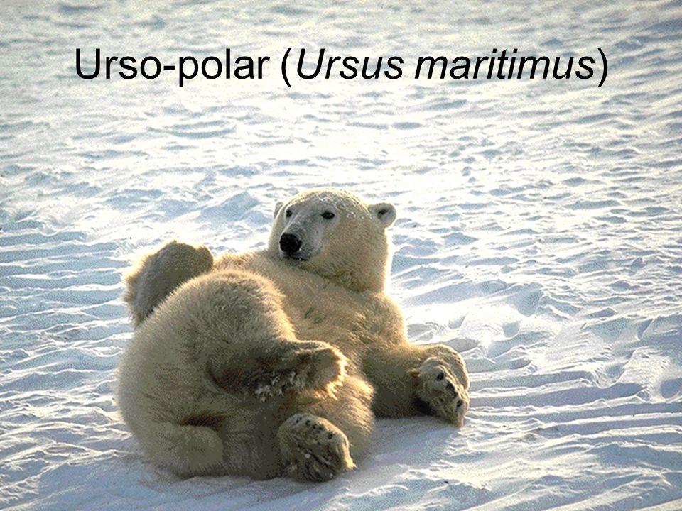 Urso-polar (Ursus maritimus)