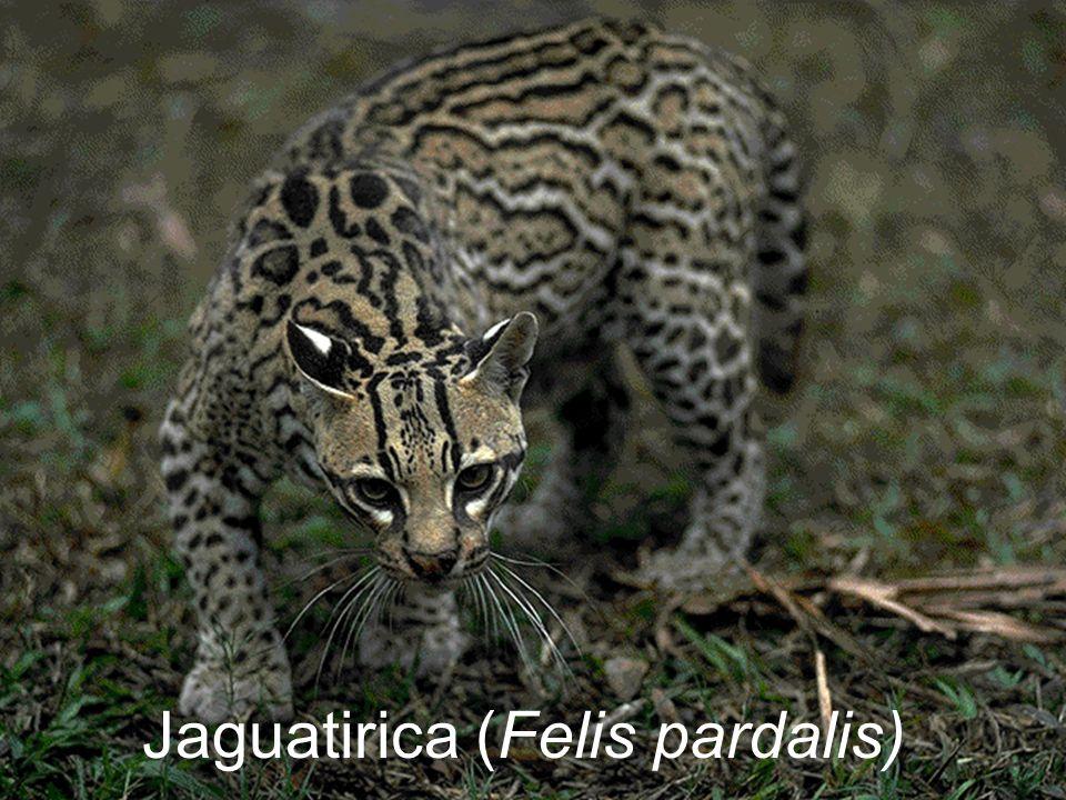Jaguatirica (Felis pardalis)