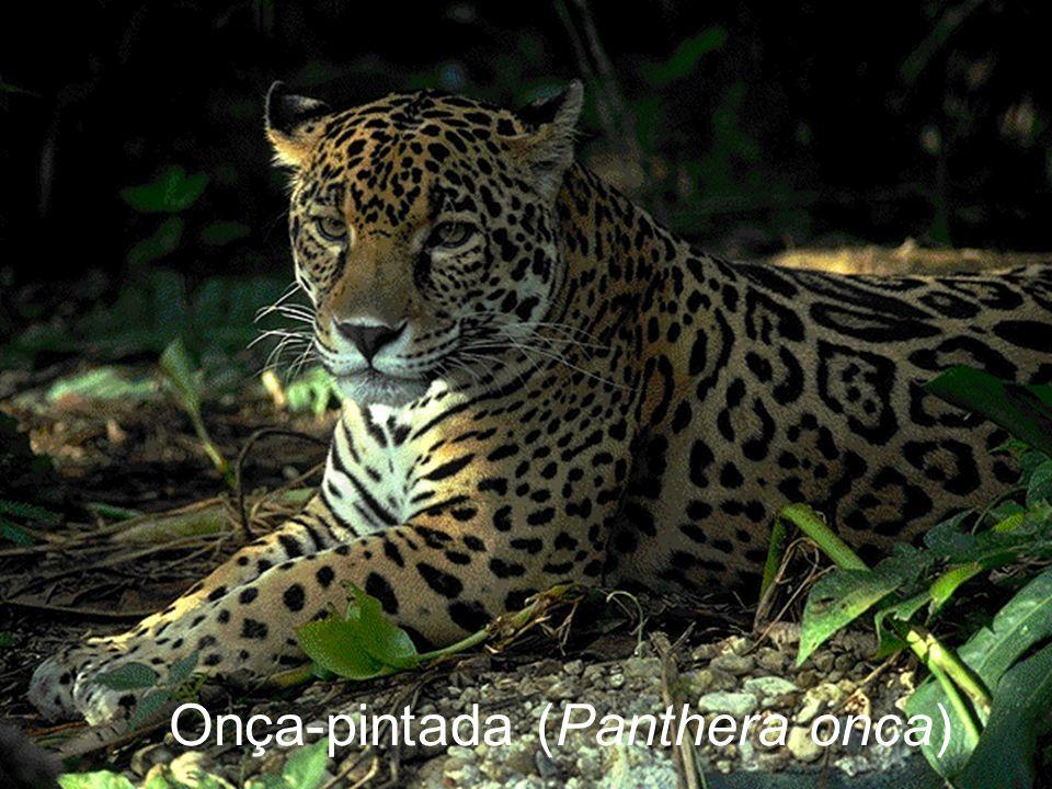 Onça-pintada (Panthera onca)