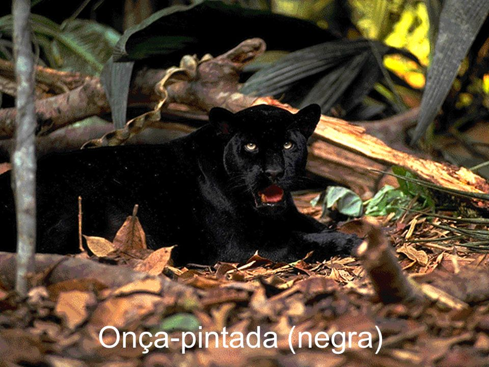 Onça-pintada (negra)