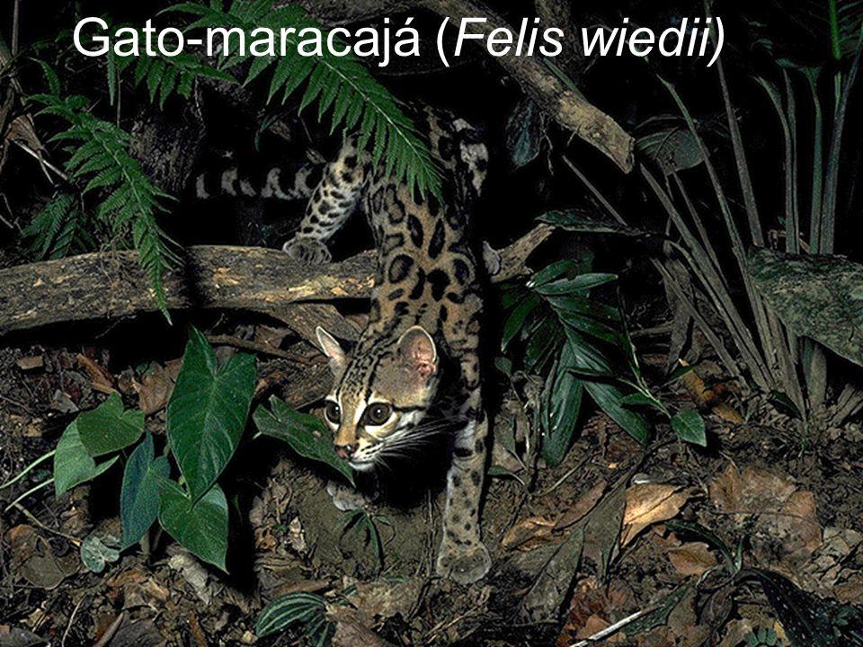 Gato-maracajá (Felis wiedii)
