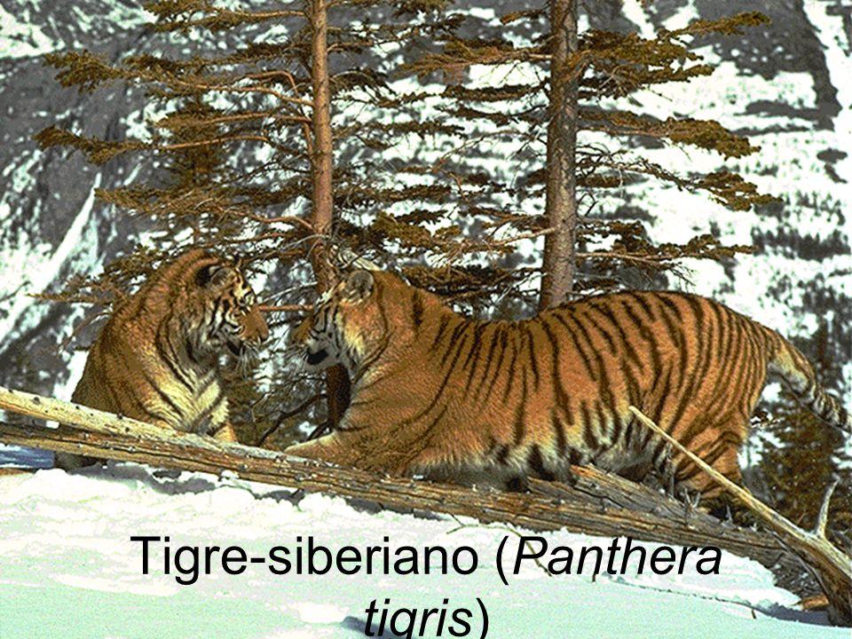 Tigre-siberiano (Panthera tigris)