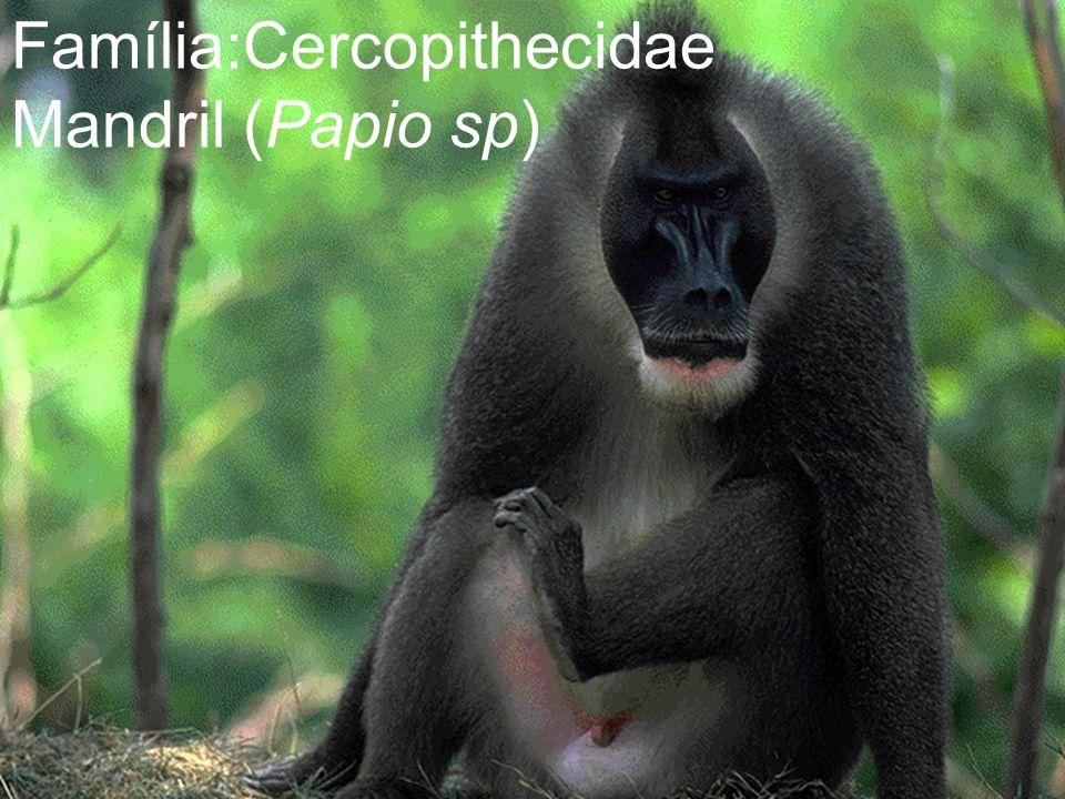Família:Cercopithecidae Mandril (Papio sp)