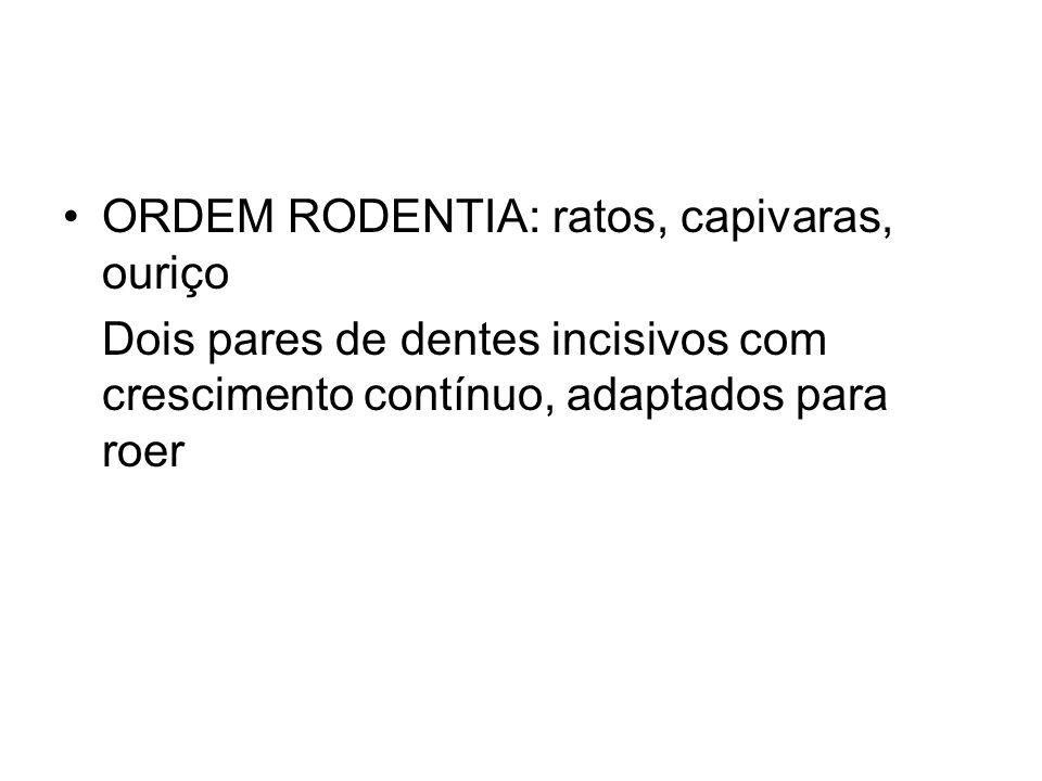 ORDEM RODENTIA: ratos, capivaras, ouriço Dois pares de dentes incisivos com crescimento contínuo, adaptados para roer