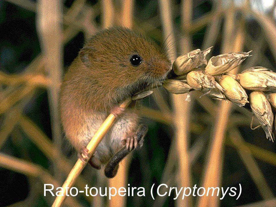 Rato-toupeira (Cryptomys)