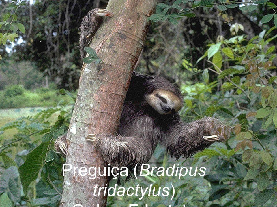 Preguiça (Bradipus tridactylus) Ordem Edentata