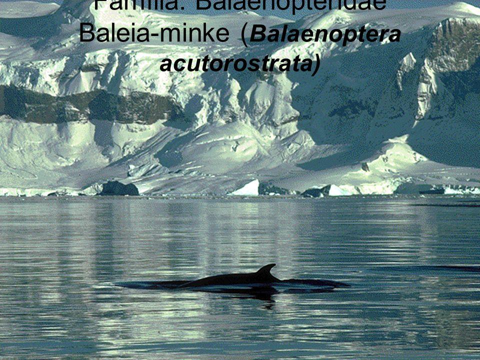 Família: Balaenopteridae Baleia-minke ( Balaenoptera acutorostrata)