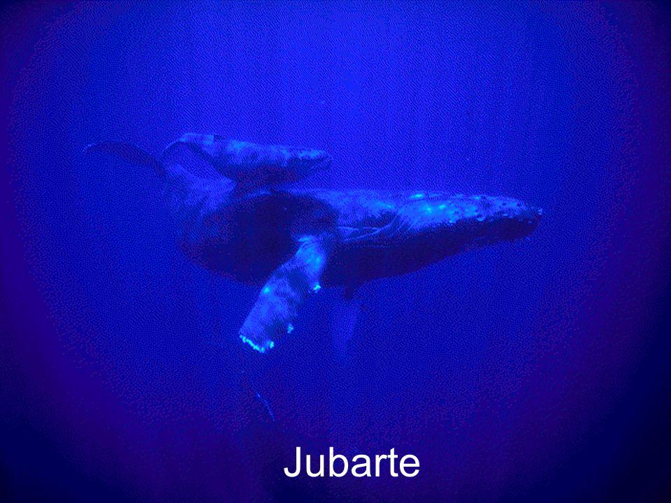 Jubarte