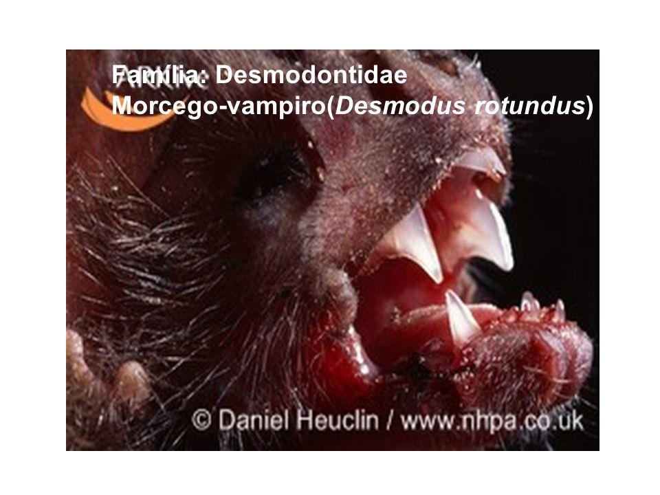 Família: Desmodontidae Morcego-vampiro(Desmodus rotundus)