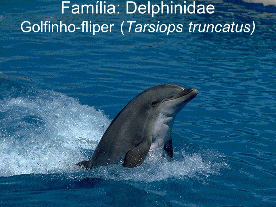 Família: Delphinidae Golfinho-fliper (Tarsiops truncatus)
