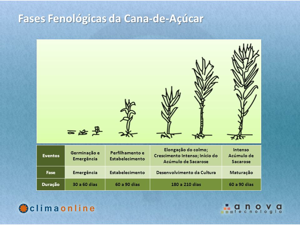 Fases Fenológicas da Cana-de-Açúcar Eventos Germinação e Emergência Perfilhamento e Estabelecimento Elongação do colmo; Crescimento Intenso; Início do