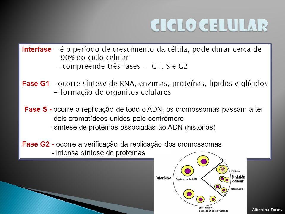 Interfase - é o período de crescimento da célula, pode durar cerca de 90% do ciclo celular - compreende três fases - G1, S e G2 Fase G1 - ocorre síntese de RNA, enzimas, proteínas, lípidos e glícidos - formação de organitos celulares Fase S - ocorre a replicação de todo o ADN, os cromossomas passam a ter dois cromatídeos unidos pelo centrómero - síntese de proteínas associadas ao ADN (histonas) Fase G2 - ocorre a verificação da replicação dos cromossomas - intensa síntese de proteínas