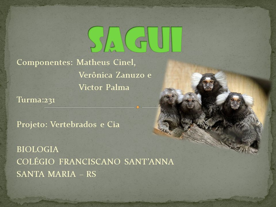 FILO: Chordata CLASSE: Mammalia ORDEM: Primatas FAMILIA: Callithrichidae NOME CIENTIFICO: Callithrix jacchus OUTROS NOMES: Saguim comum; sagüim, sauim, xauim, sauí, soim, massau, tamari, mico, miquinho.