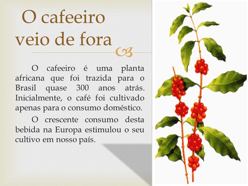 O cafeeiro é uma planta africana que foi trazida para o Brasil quase 300 anos atrás. Inicialmente, o café foi cultivado apenas para o consumo doméstic