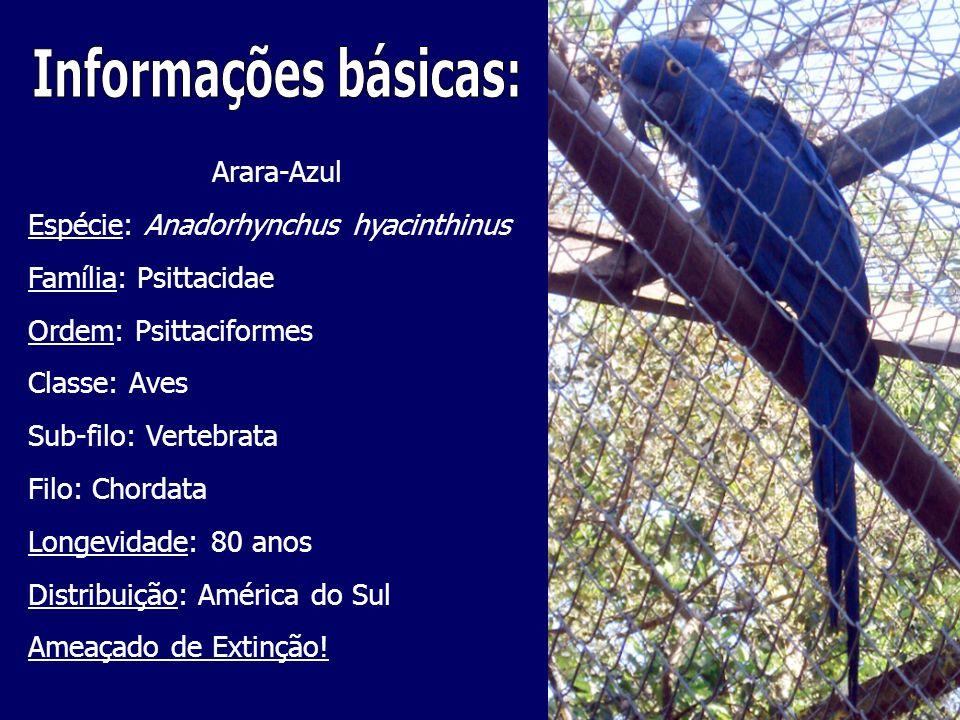 Arara-Azul Espécie: Anadorhynchus hyacinthinus Família: Psittacidae Ordem: Psittaciformes Classe: Aves Sub-filo: Vertebrata Filo: Chordata Longevidade