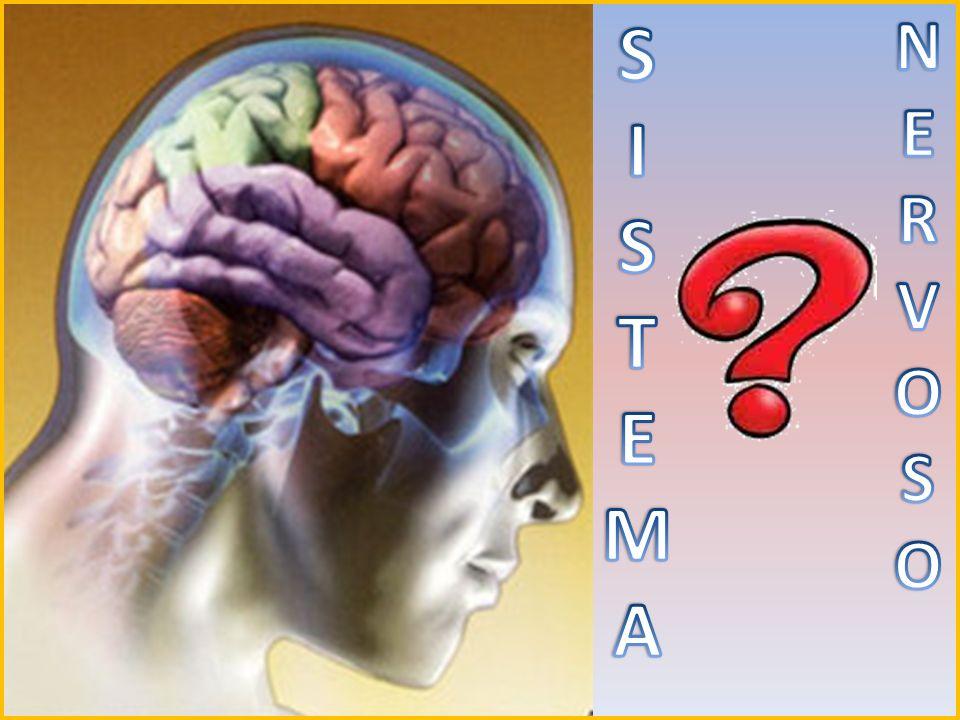 O sistema nervoso de um ser humano coordena a atividade dos músculos, monitora os órgãos, constrói e finaliza estímulos dos sentidos e inicia ações.