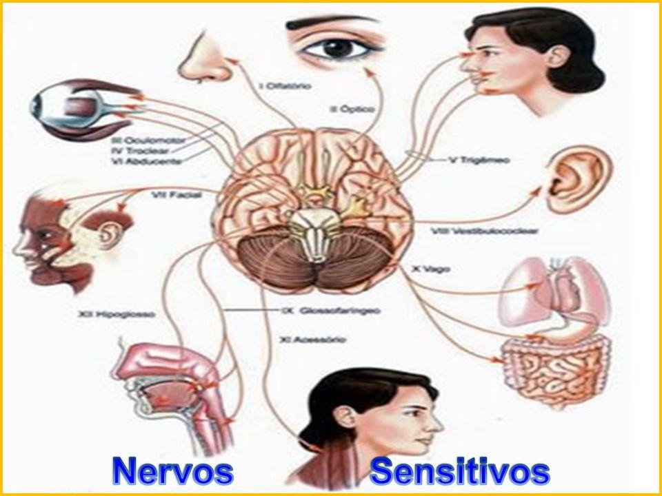 Os nervos motores transportam os sinais de comando do Sistema Nervoso Central aos músculos, para o controle do movimento e das funções corporais em geral, como a frequência cardíaca, respiração, digestão, produção de suor.